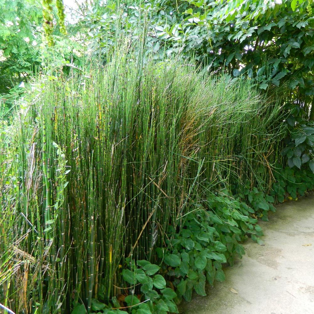 Plantes de rive equisetum 39 japonicum 39 pr le japonaise en for Plante verte japonaise