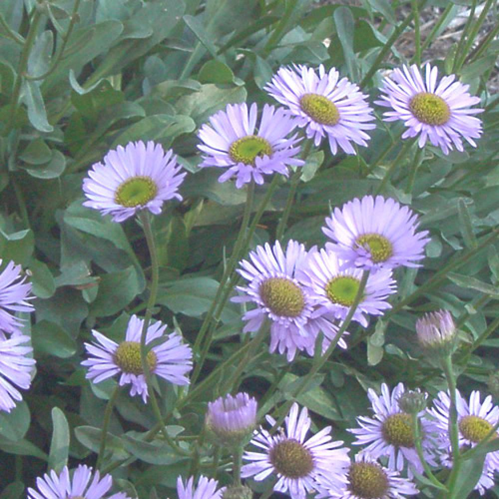 Plantes vivaces erigeron glaucus vergerette en vente for Vente plantes vivaces