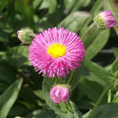 Plantes vivaces erigeron 39 karminstrahl 39 vergerette en for Vente plantes vivaces