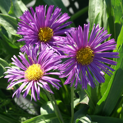 Plantes vivaces erigeron 39 nachthimmel 39 vergerette en for Vente plantes vivaces