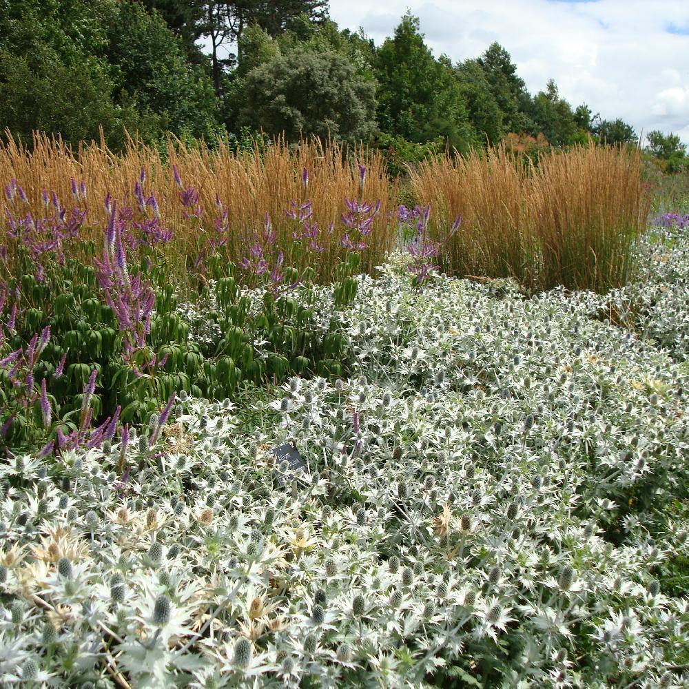 Plantes vivaces eryngium giganteum 39 silver ghost for Vente plantes vivaces