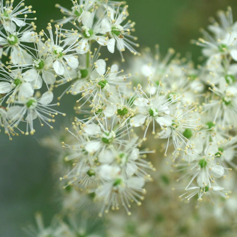 Plantes vivaces filipendula ulmaria reine des pr s en for Vente plante