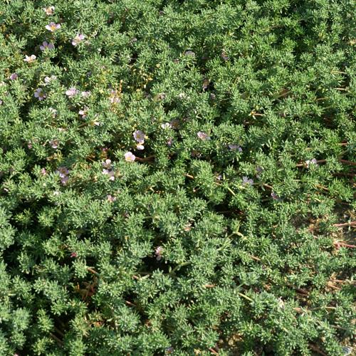 Plantes vivaces frankenia laevis frank nie lisse en for Plante vivace verte