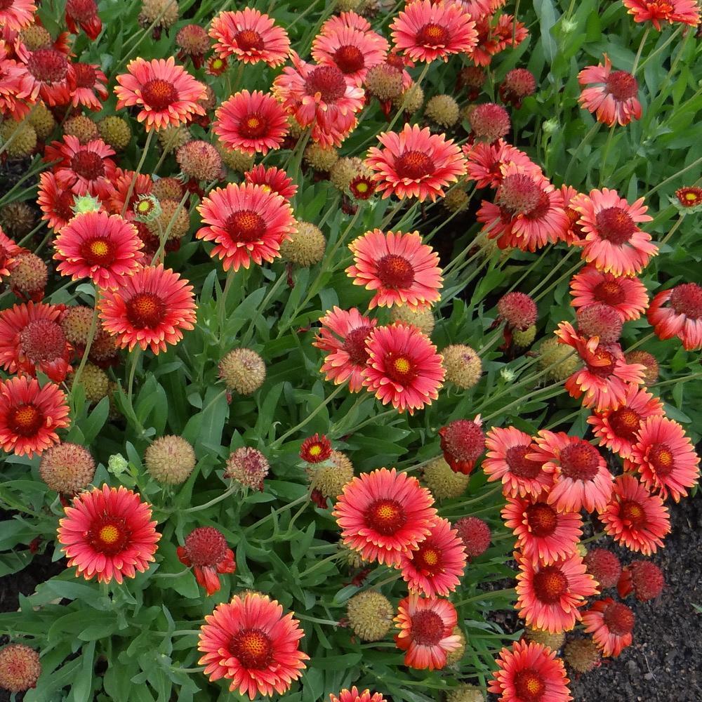 Plantes vivaces gaillardia 39 red sun 39 gaillarde en vente for Vente plantes vivaces