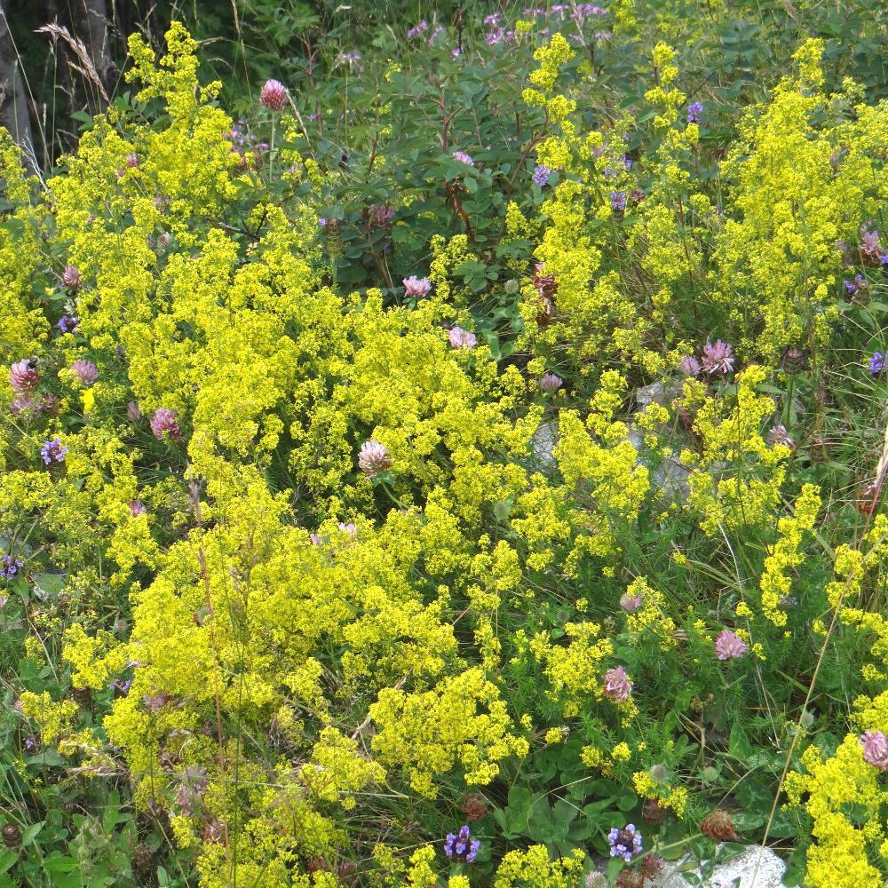 Plantes vivaces galium verum gaillet vrai caille for Vente plantes vivaces