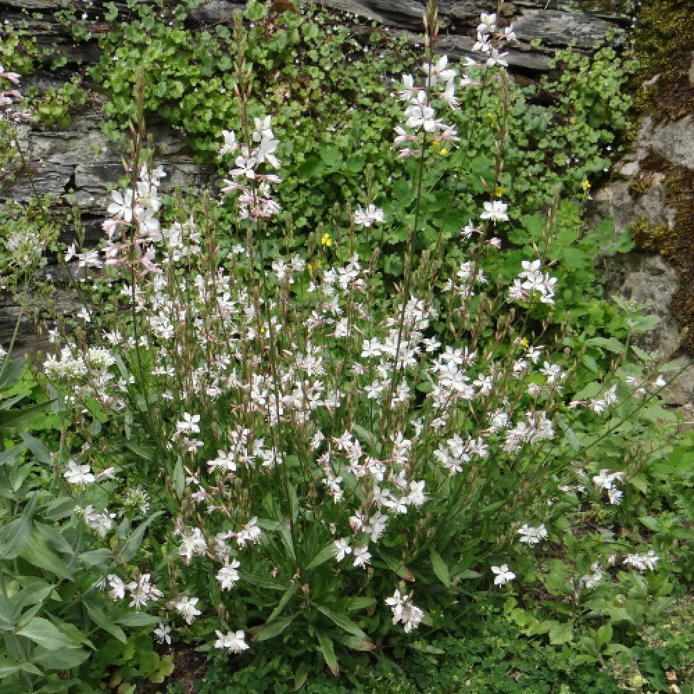 Plantes vivaces gaura lindheimeri 39 summer breeze 39 en for Vente plantes vivaces