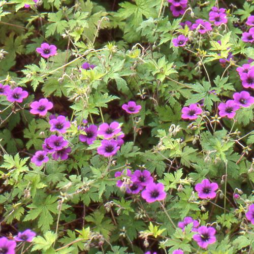 plantes vivaces geranium 39 ann folkard 39 g ranium vivace bec de grue en vente p pini re lepage. Black Bedroom Furniture Sets. Home Design Ideas