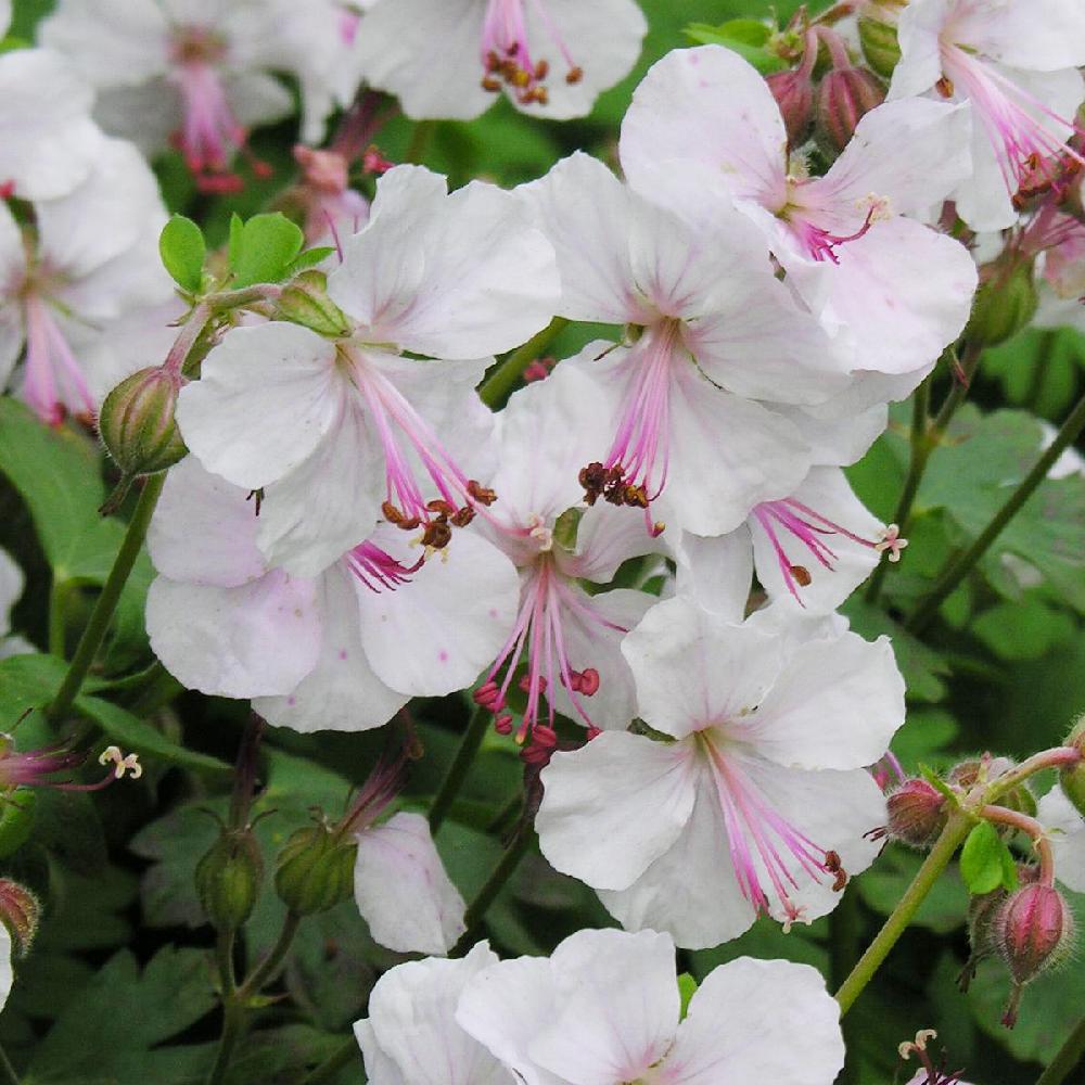 Plantes vivaces geranium cantabrigiense 39 biokovo for Vente plantes vivaces
