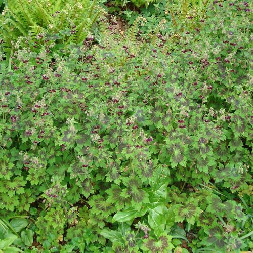 Plantes vivaces geranium phaeum 39 samobor 39 g ranium for Plantes vivaces rustiques