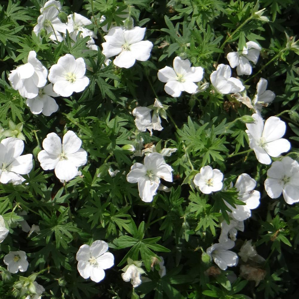 plantes vivaces geranium sanguineum 39 album 39 g ranium vivace bec de grue en vente p pini re. Black Bedroom Furniture Sets. Home Design Ideas