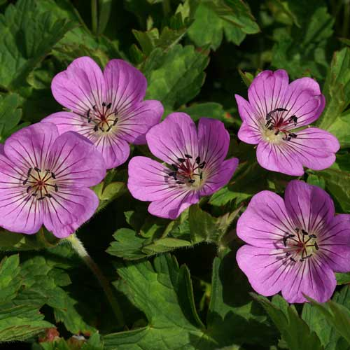 Plantes vivaces geranium 39 silvia 39 s surprise 39 g ranium for Plantes a fleurs vivaces