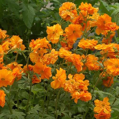 Plantes vivaces geum 39 fire storm 39 beno te en vente for Plante vivace verte