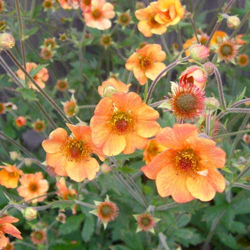 Plantes vivaces geum 39 totally tangerine 39 beno te en for Vente plantes vivaces
