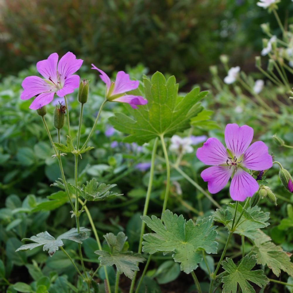 plantes vivaces geranium 39 sirak 39 g ranium vivace bec de grue en vente p pini re lepage. Black Bedroom Furniture Sets. Home Design Ideas