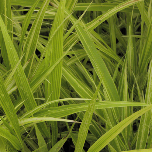 gramin es hakonechloa macra 39 albostriata 39 herbe du japon en vente p pini re lepage. Black Bedroom Furniture Sets. Home Design Ideas