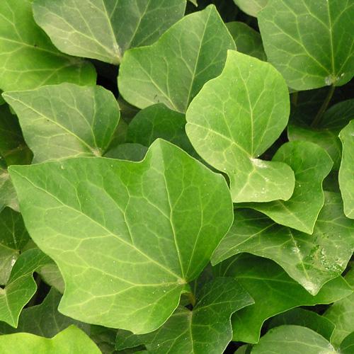plantes vivaces hedera 39 algerian bellecour 39 lierre en vente p pini re lepage. Black Bedroom Furniture Sets. Home Design Ideas