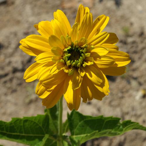 Heliopsis helianthoides 39 goldgr nherz 39 hliopside for Commande de plantes