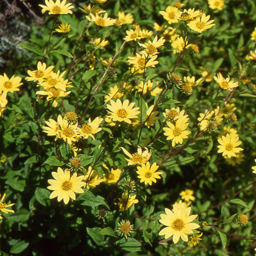 Plantes vivaces helianthus 39 lemon queen 39 soleil en vente for Vente plantes vivaces