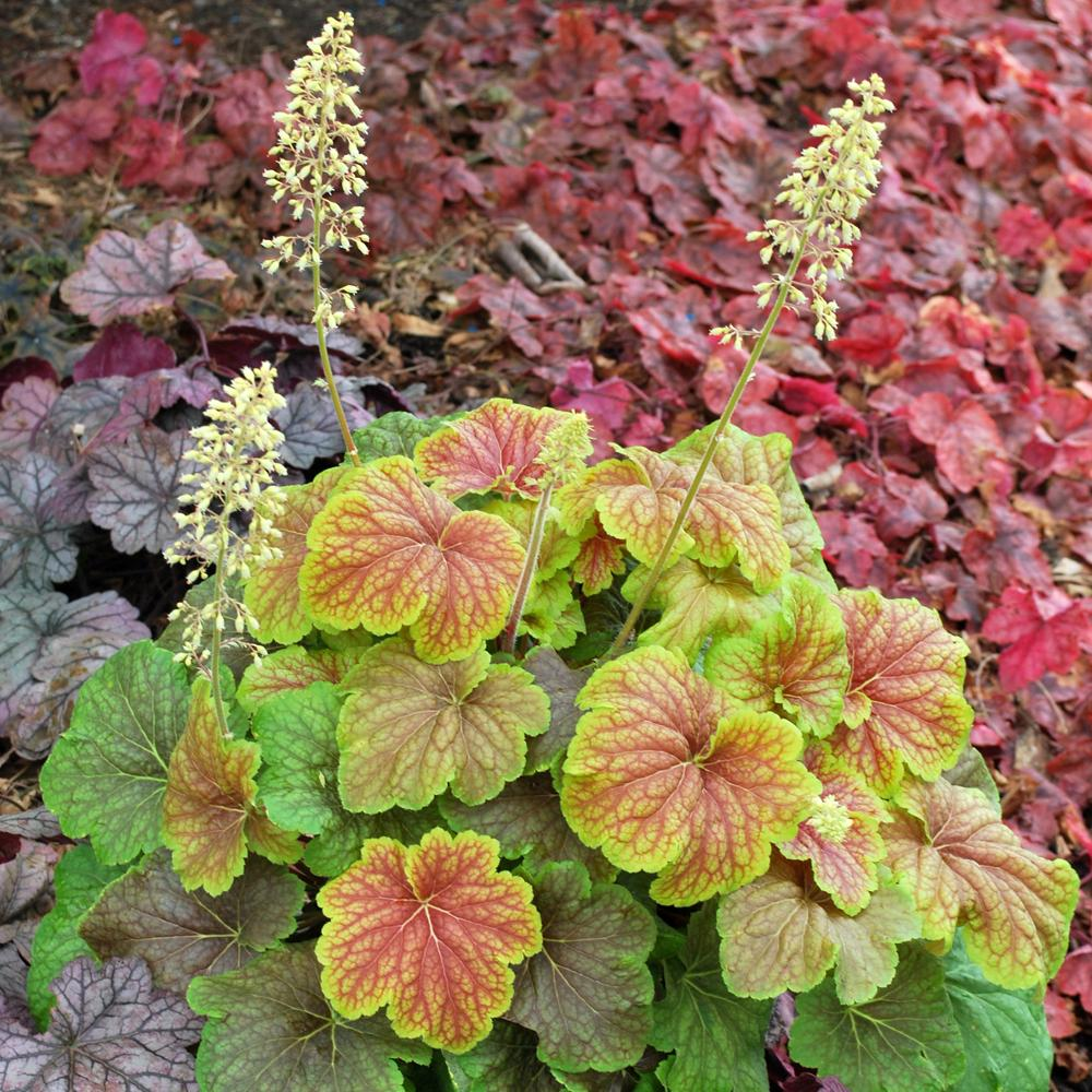 Plantes vivaces heuchera 39 delta dawn 39 en vente for Vente plantes vivaces