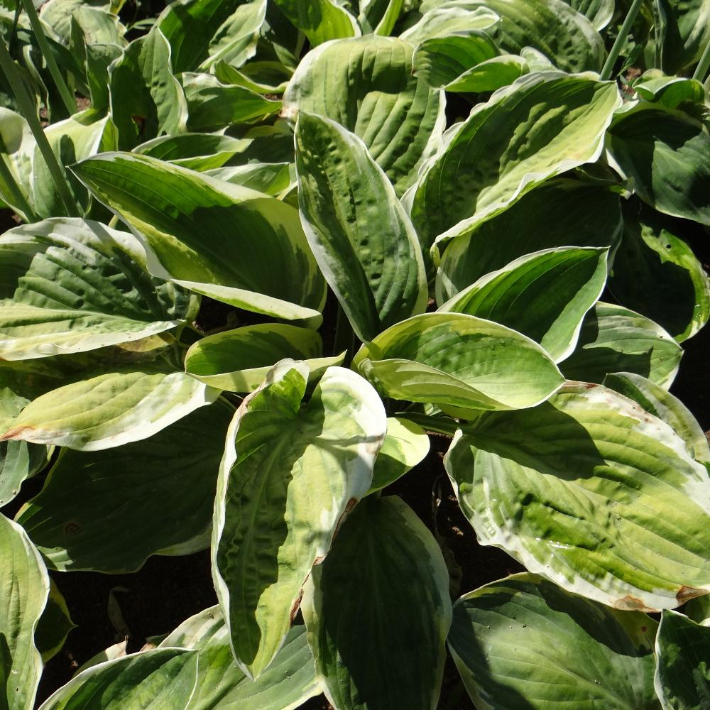 Plantes vivaces hosta 39 carnival 39 en vente p pini re lepage for Vente plantes vivaces