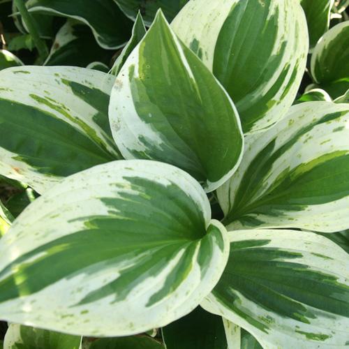 Plantes vivaces hosta 39 independence 39 en vente for Vente plantes vivaces