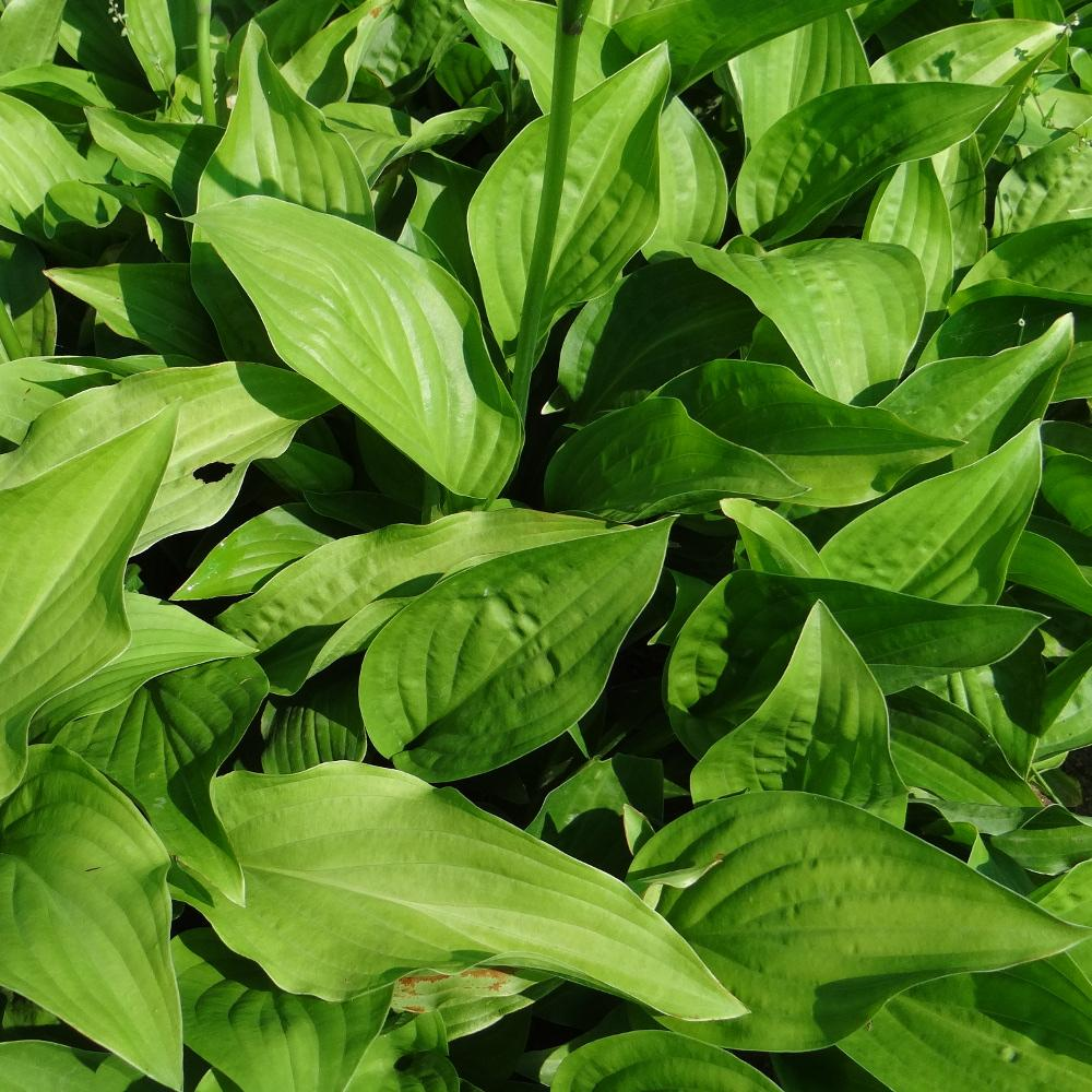 Plantes vivaces hosta plantaginea en vente p pini re for Vente plantes vivaces