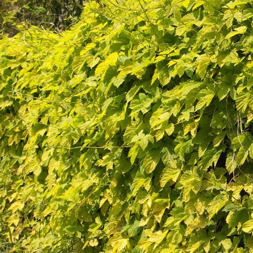 plantes vivaces humulus lupulus 39 aureus 39 houblon dor en vente p pini re lepage. Black Bedroom Furniture Sets. Home Design Ideas