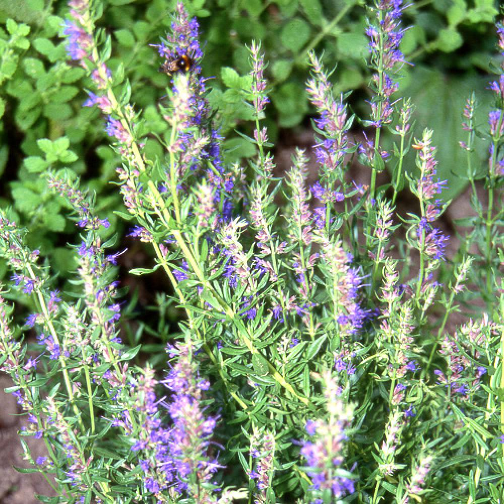 Plantes vivaces hyssopus officinalis hysope en vente for Vente plantes vivaces