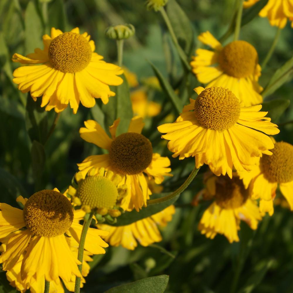 Plantes vivaces helenium autumnale 39 pumilum magnificum for Vente plante