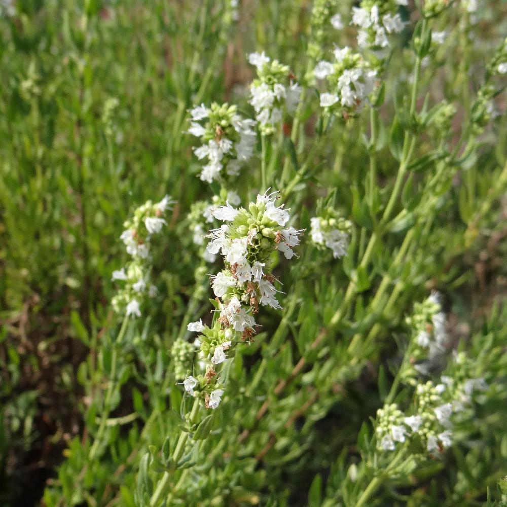 Vente plantes vivaces gramin es et bulbes p pini re lepage for Vente plante