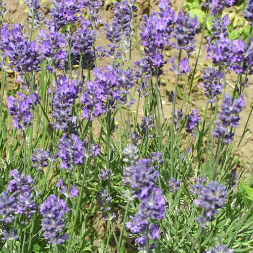 Plantes vivaces lavandula angustifolia vera lavande for Vente plantes vivaces
