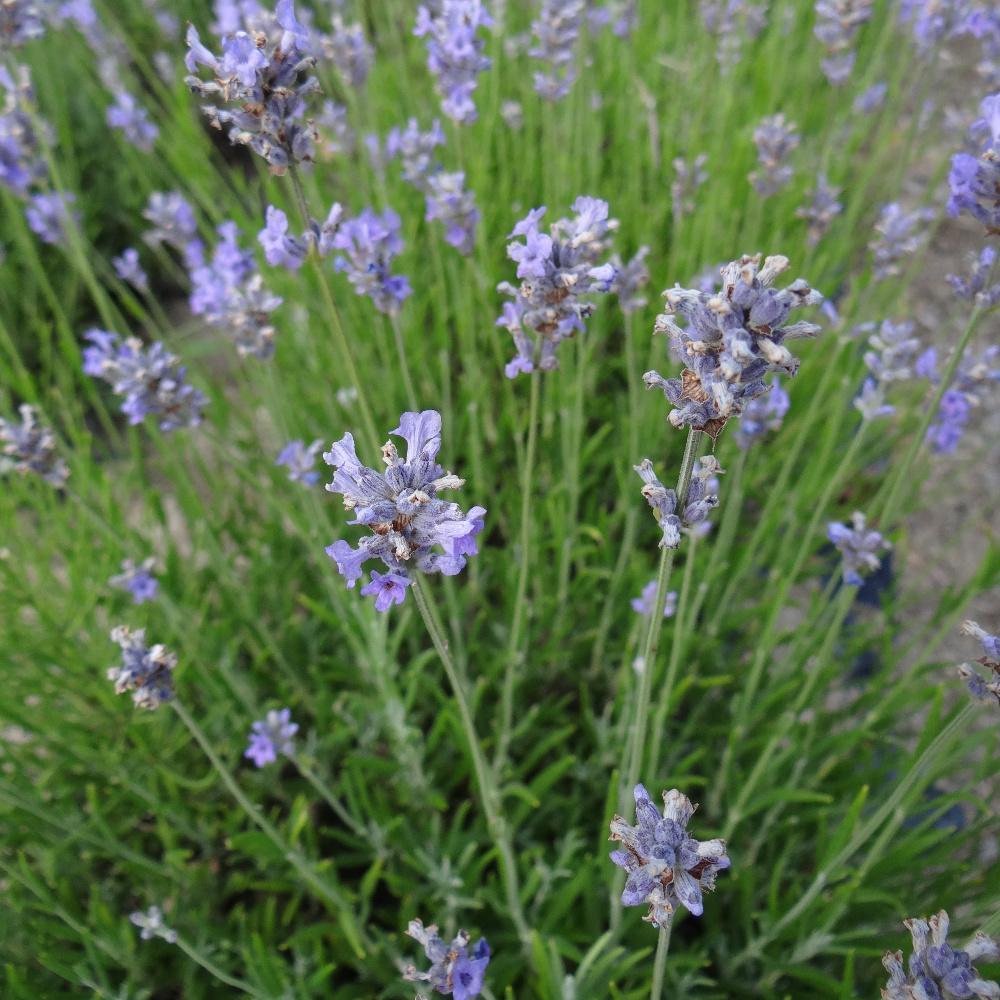 plantes vivaces lavandula angustifolia 39 dwarf blue. Black Bedroom Furniture Sets. Home Design Ideas