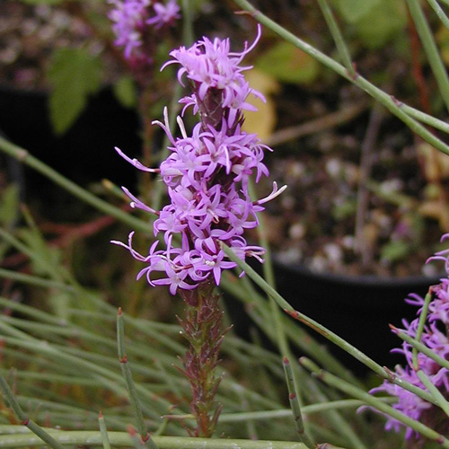 Plantes vivaces liatris spicata plume du kansas en vente for Vente plantes vivaces