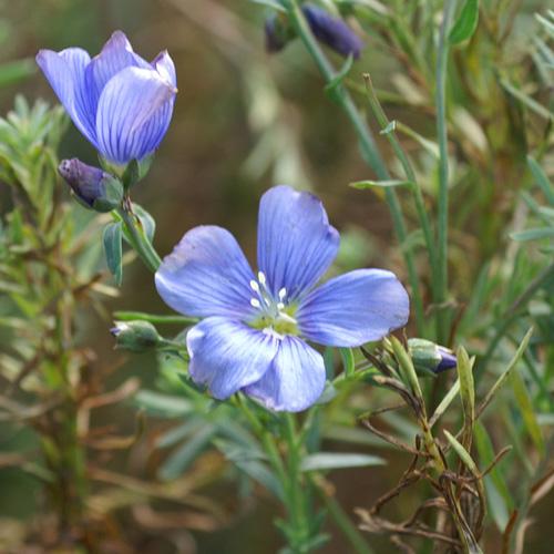 Plantes vivaces linum perenne 39 saphir 39 en vente - Fleurs vivaces longue floraison ...