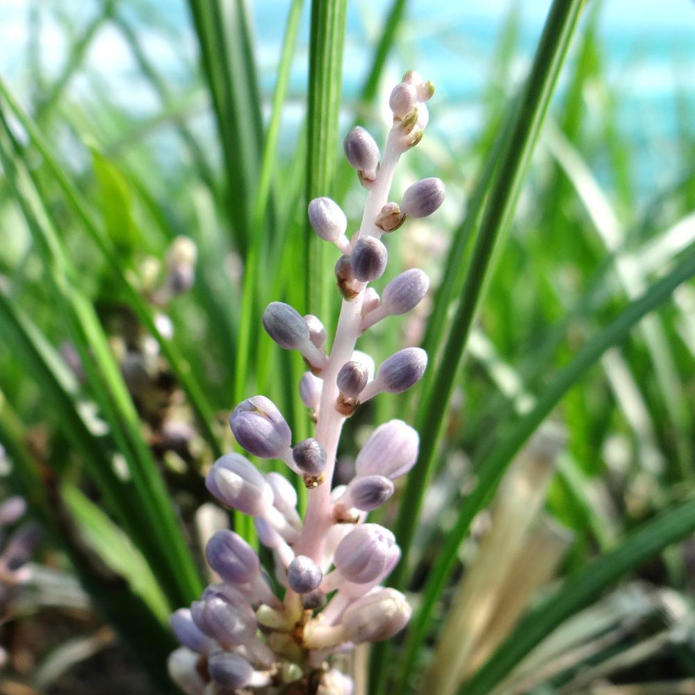 Plantes vivaces liriope graminifolia en vente for Vente plantes vivaces