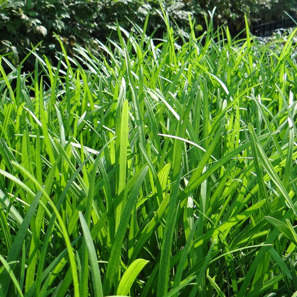 Plantes vivaces liriope muscari 39 ingwersen 39 en vente for Vente plantes vivaces