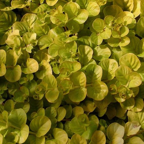 plantes vivaces lysimachia nummularia 39 aurea 39 lysimaque en vente p pini re lepage. Black Bedroom Furniture Sets. Home Design Ideas