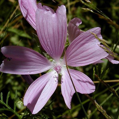 Plantes vivaces malva moschata mauve mauve musqu e en for Vente plantes vivaces