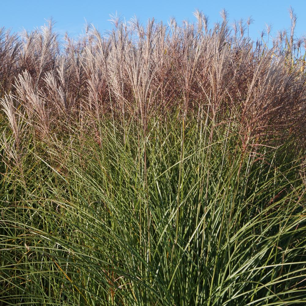 gramin es miscanthus sinensis 39 gracillimus 39 eulalie. Black Bedroom Furniture Sets. Home Design Ideas