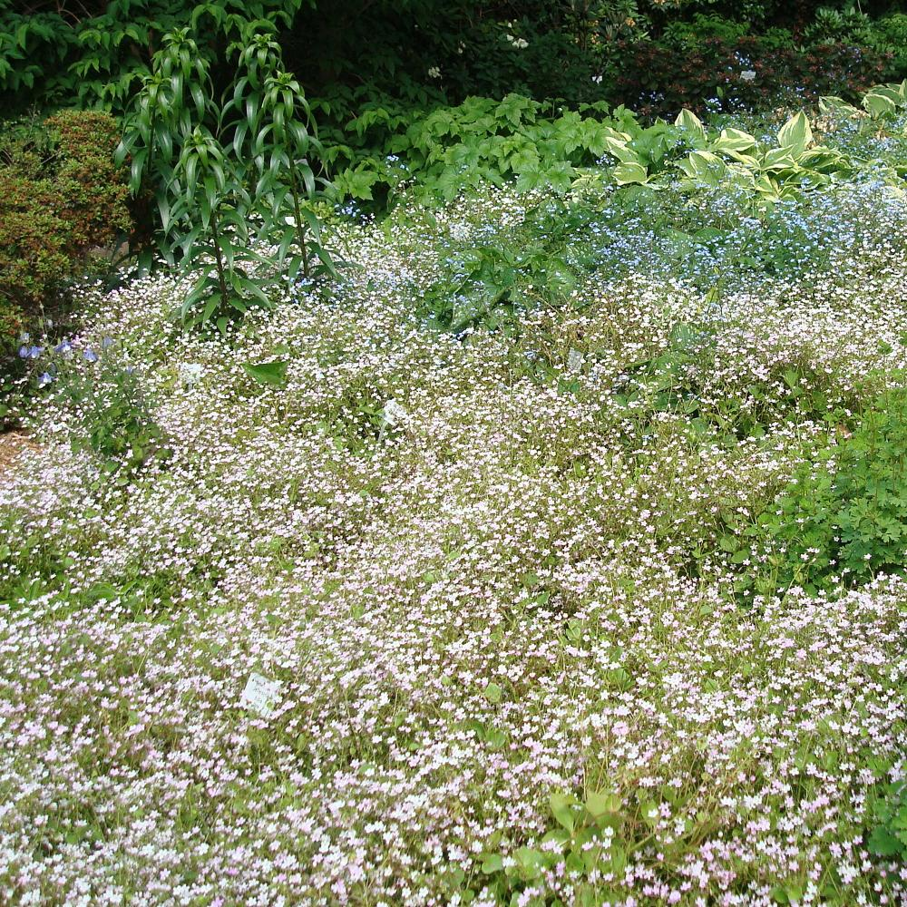 Plantes vivaces montia sibirica montie en vente for Vente plantes vivaces