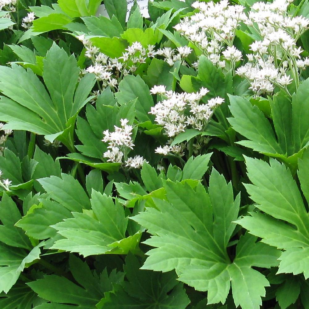 Plantes vivaces mukdenia rossii lierre de mandchourie en for Vente de plantes