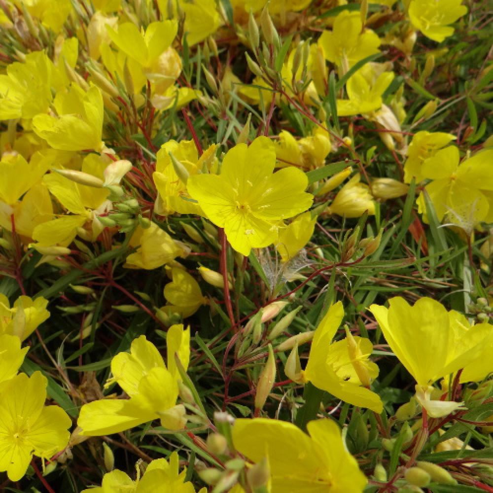 Plantes vivaces oenothera 39 african sun 39 oenoth re for Vente plantes vivaces