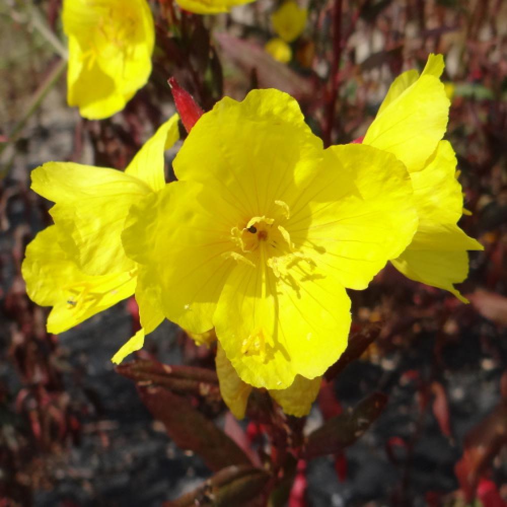 Plantes vivaces oenothera fruticosa 39 sonnenwende for Vente plantes vivaces