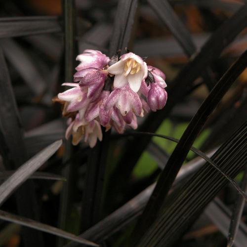 plantes vivaces ophiopogon planiscapus 39 niger 39 muguet du japon en vente p pini re lepage. Black Bedroom Furniture Sets. Home Design Ideas