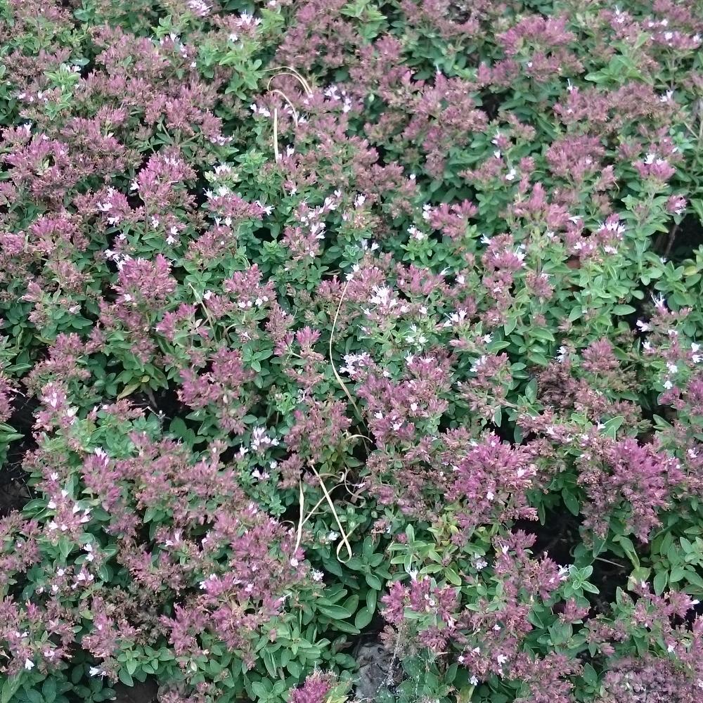 Plantes vivaces origanum vulgare 39 compactum 39 origan for Vente plantes vivaces