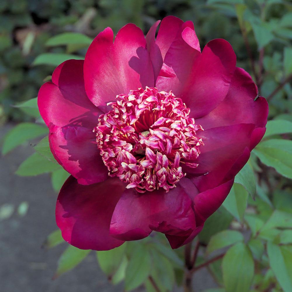 Plantes vivaces paeonia 39 nippon beauty 39 pivoine en vente for Vente plantes vivaces