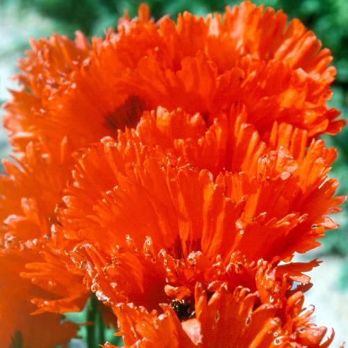 Plantes vivaces papaver orientale 39 t rkenlouis 39 pavot - Faut il couper les jonquilles apres floraison ...