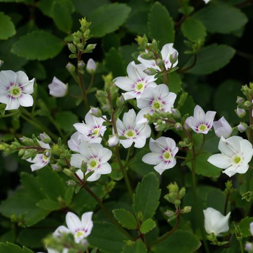 Plantes vivaces parahebe lyallii en vente p pini re lepage for Vente plante
