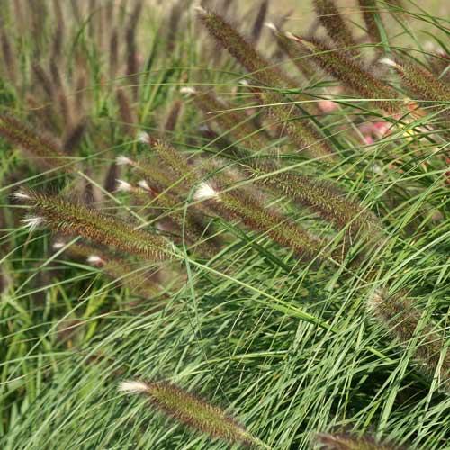 gramin es pennisetum alopecuroides 39 magic 39 herbe aux couvillons en vente p pini re lepage. Black Bedroom Furniture Sets. Home Design Ideas