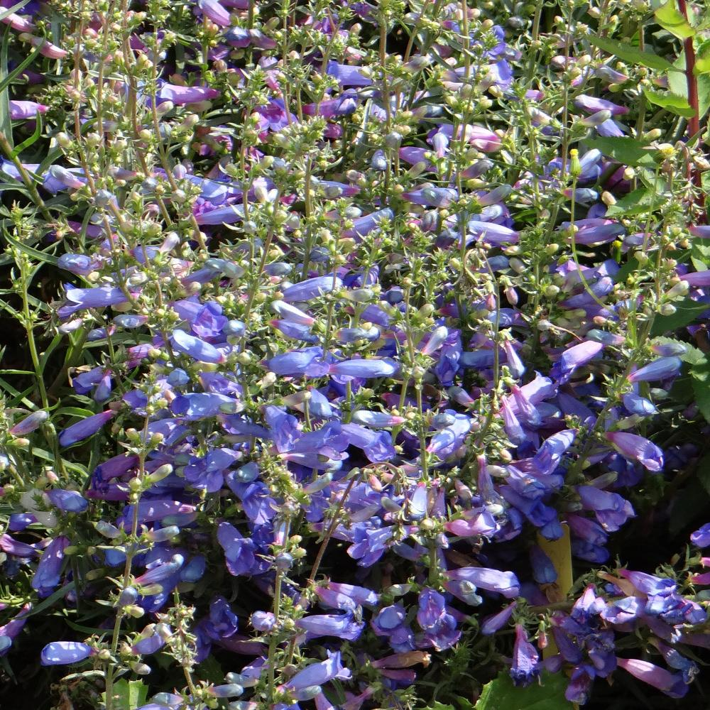 Plantes vivaces penstemon 39 blue spring 39 galane en vente for Vente plantes vivaces